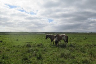 Islandske heste æder alle græsser