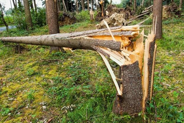 Naturstyrelsen er nu færdig med at genplante efter stormene i 2013. Foto: Colourbox.