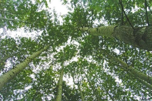 Skovdyrkerne har mange års viden om popler