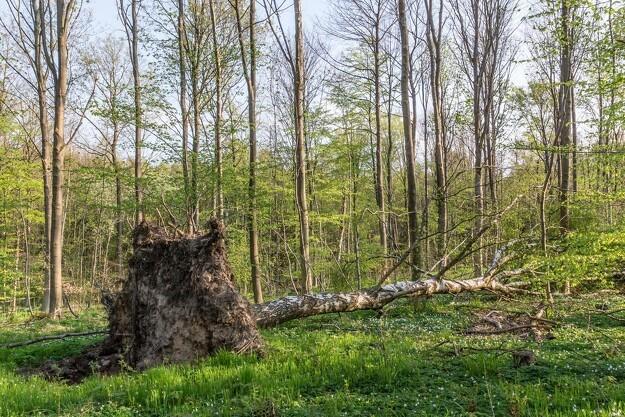 Urørt skov bliver et element i kommende naturpakke