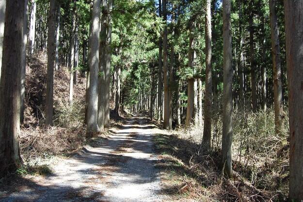 Japans skovdrift på vej til comeback på grund af allergi