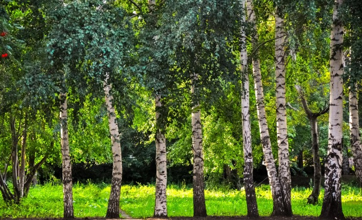 Birketræ er et materiale med potentiale