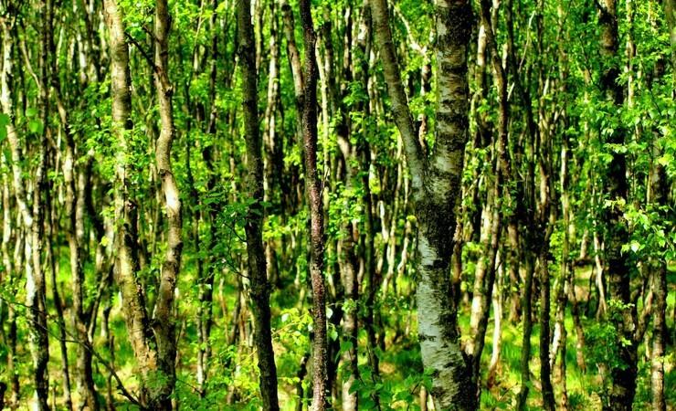 Skovejere ramt af sagspukkel