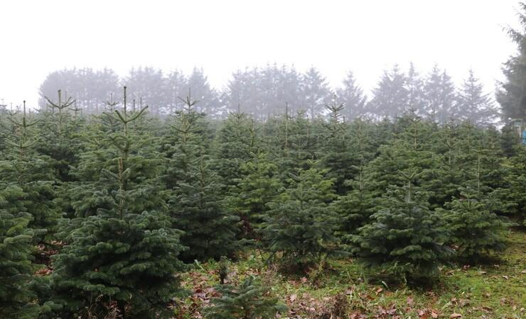 Status efter tørken: Juletræerne står godt