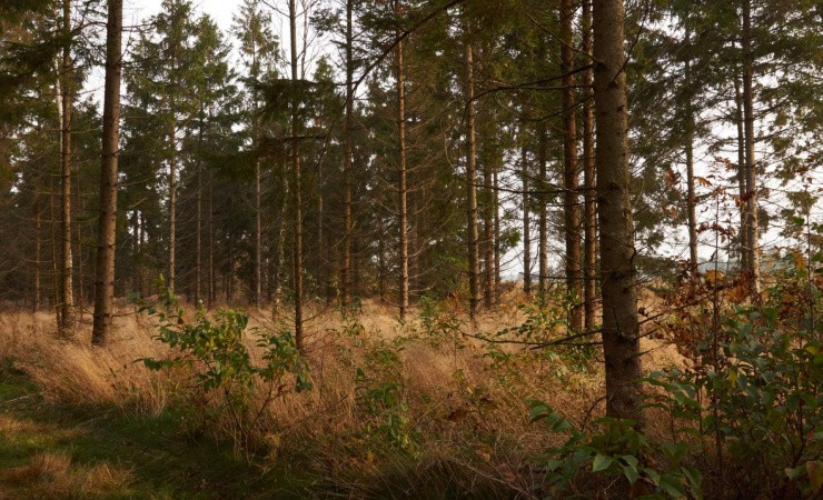 Nåletræsplantager omdannes til til varierede skove