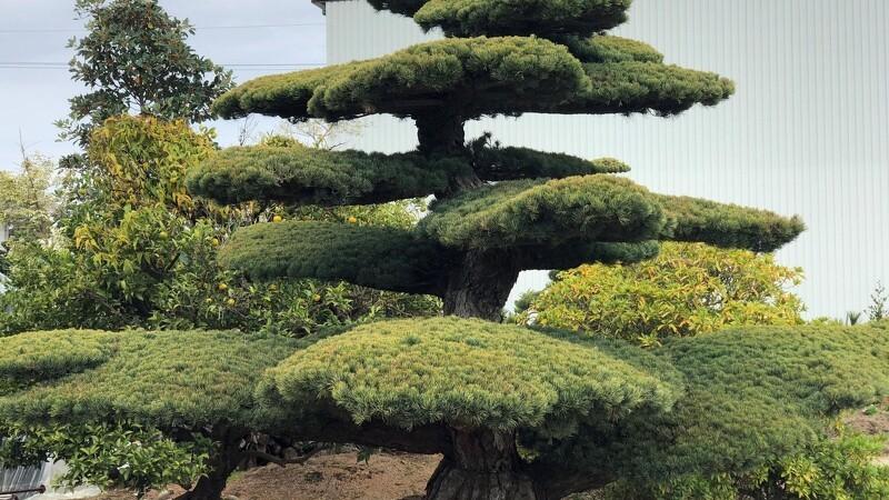Bonsai-træer skal boome i Danmark