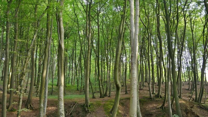 100 nye statsskove suger CO2 til sig
