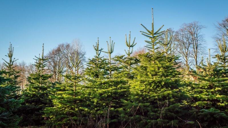 Juletræer kan give varme til  millioner af brusebade