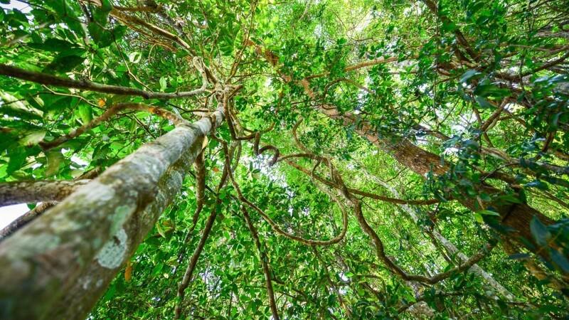Dansk træleverandør går forrest i nyt initiativ for bæredygtig udvikling i regnskoven