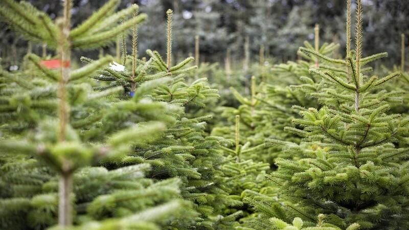 Svampesygdom i juletræer på retur